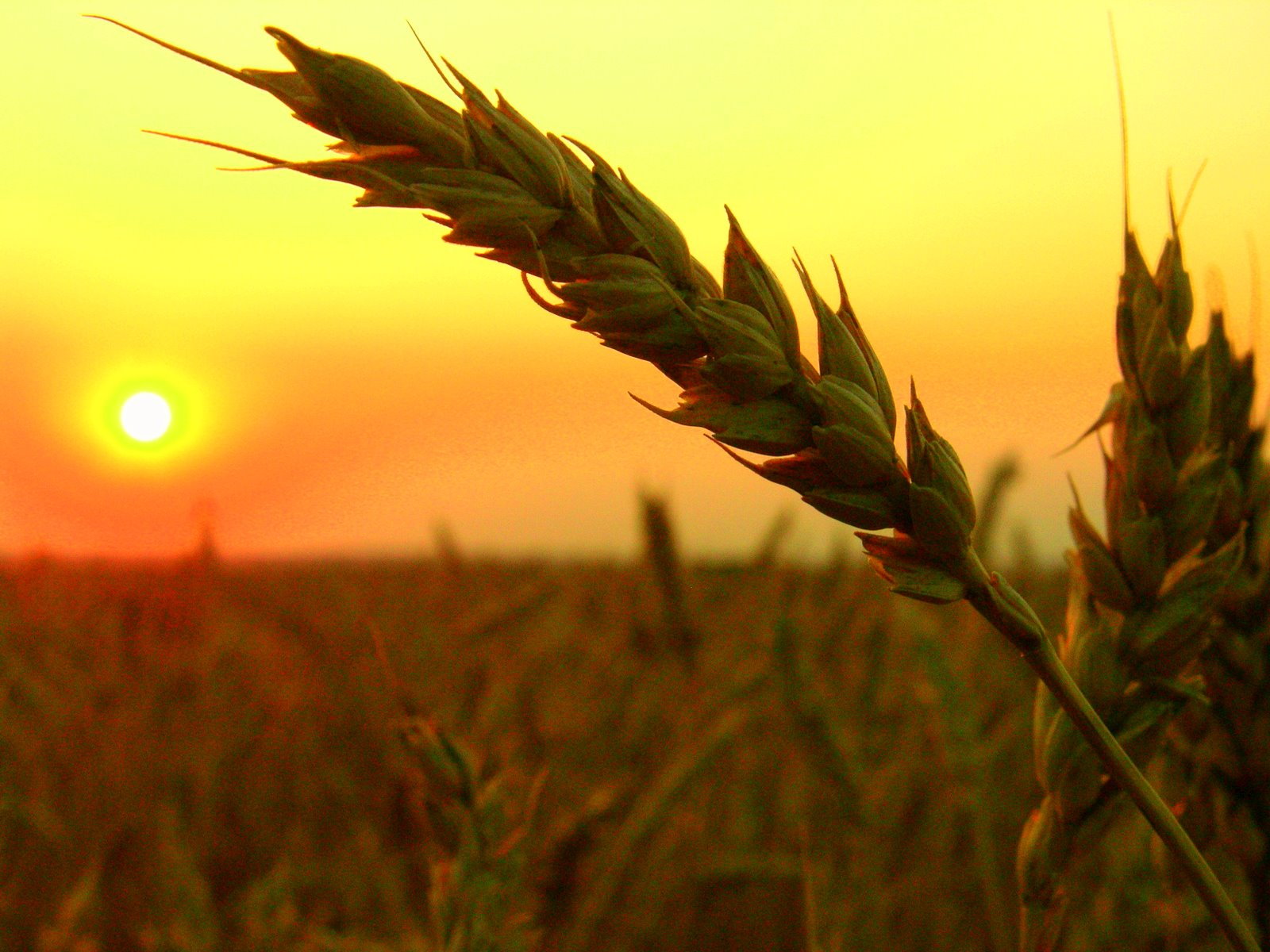 wheat-field-harvest-sunset.jpg